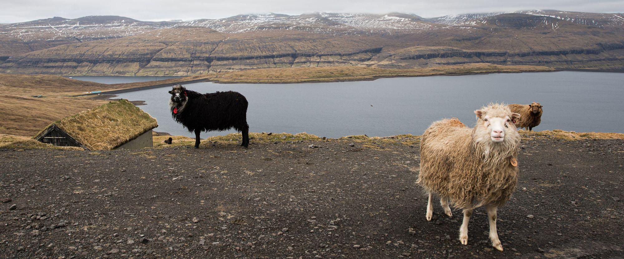 Sheep of Faroe Islands